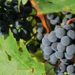 Bretagne. Le premier vin rouge depuis des siècles