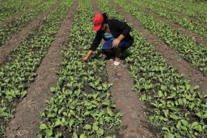 Il parie sur la betterave à sucre bio en Bretagne