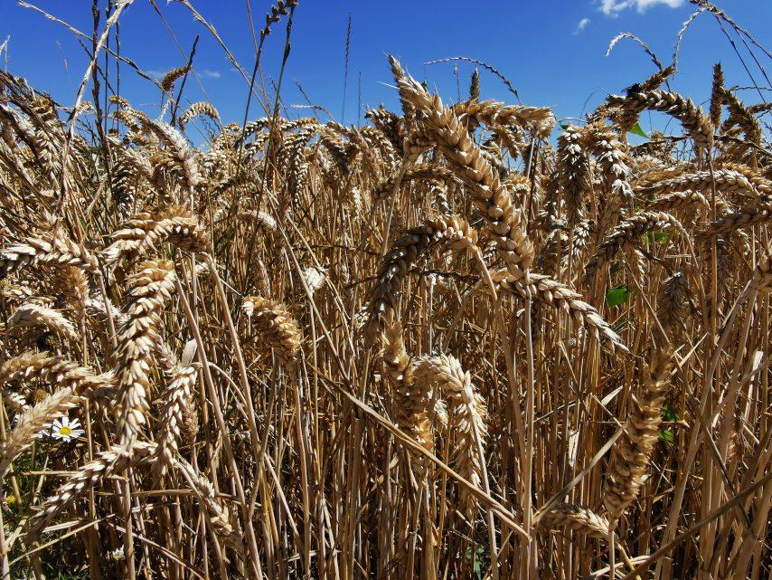 Centre-Morbihan : du blé aux algues sort de terre