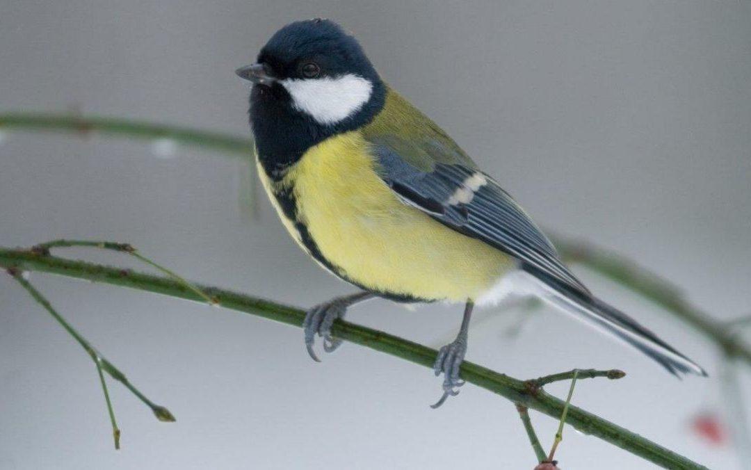 Profitez de l'isolement pour connaître ou compter les oiseaux